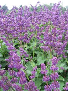 Image result for SALVIA VERT. `PURPLE RAIN`