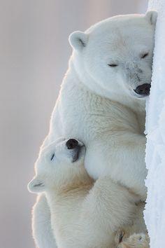 Polar Bears. ❤♥ Oct 15 27 <3❤