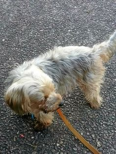 """A 90-year-old woman has been left heart-broken after her beloved silky terrier Bear was mauled and killed after two dogs attacked him at Kensington Park in Buddina. """"She was walking through Kensington Park when two black dogs attacked and ripped little Bear apart."""""""