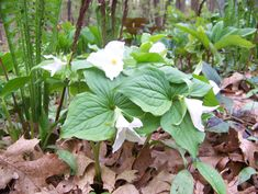 Trillium in Jackie's spring garden in Michigan--click through to see more of this garden.