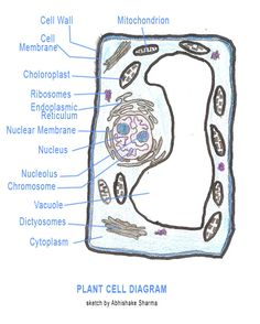 animal    cell    parts worksheet   animal    cell       diagram