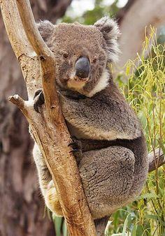 Australia's Best-Koalas