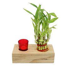 Decorative Lucky Bamboo