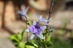 viuvinha (Petrea volubilis)