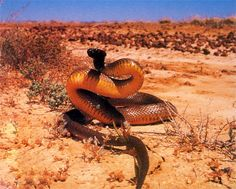 Fierce Snake , Inland Taipan (Oxyuranus microlepidotus) | Most venomous snake in the world: Found only in Australia.