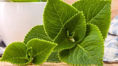 Když si k rýmovníku přivoníte, můžete si vybrat, co cítíte... Mátu? Jistě. Meduňku? Ovšem. A dobromysl? Taky. Co šalvěj a tymián? Ano, i ty. Od každého trochu a ještě něco navíc. Herb Garden, Home And Garden, Health Advice, Korn, Detox, Plant Leaves, Remedies, Health Fitness, Herbs
