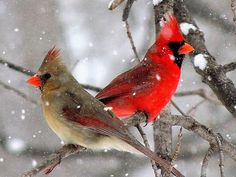 cardinal images male and female - Yahoo Image Search Results