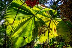 julesnene posted a photo:  Anahaw is the national leaf of the Philippines. A touch of green to celebrate St. Patrick's Day! :D  The palm tree's scientific name is Saribus rotundifolius (formerly Livistona rotundifolia). It's called the round-leaf fountain palm or footstool palm in English and serdang in other Southeast Asian countries.  Anahaw leaves are used for thatching and food wrapping. (Quezon province is known for wrapping their tikoy Gumaca in anahaw leaves.) The tree itself is great…