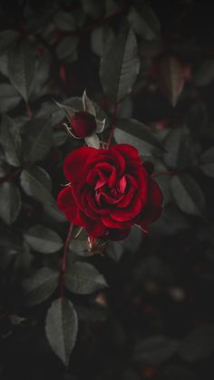 Wall paper red flowers beautiful roses ideas for 2019 Wallpaper Rose, Nature Wallpaper, Wallpaper Backgrounds, Dark Red Wallpaper, Mobile Wallpaper, Landscape Wallpaper, Animal Wallpaper, Colorful Wallpaper, Galaxy Wallpaper