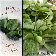 Cold crops for winter gardens - prefer mache's nutty flavor to spinach, which it also beats for cold hardiness. mache (also known as corn salad) easily survives winters unprotected in zone 6 and higher. Also known as miner's lettuce, claytonia offers a striking contrast with incredibly tender, spoon-shaped leaves.