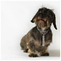 Dog Wearing Jewelry