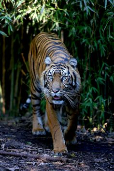 HELP SAVE THE ENDANGERED MALAYAN TIGERS!  Tell Malaysia Ministry of Natural Resources & Environment: STOP LOGGING in the Rainforest!  The Belum-Temengor Forest Complex is one of the last refuges for amazing, yet highly threatened wildlife, such as the Malayan tiger, Asian elephant, & Sunda pangolin.  PLZ Sign & Share!