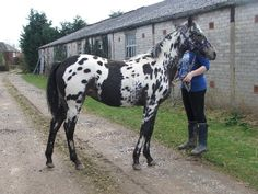Partbred Appaloosa filly, by a purebred Appaloosa stallion out of a solid bay Welsh cob x TB. Look for the heart shaped spot on the bottom o...