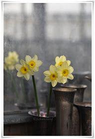 """Schunsland (tuin-rozen-vintage en handwerk ): Narcissus """"Minnow""""...is zo leuk."""