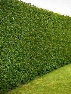 29 Ideas For Backyard Privacy Trees Decor