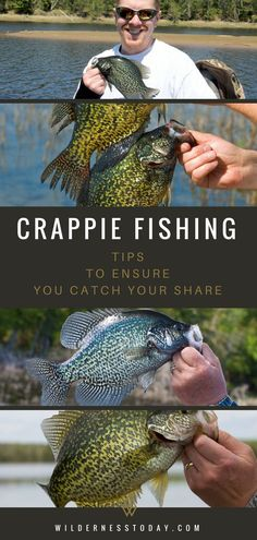 Fishing Tips: How To Catch Black & White Crappie Who doesn't love fishing for Crappie in the Summer? One of our favorite fish, the White and Black Crappie are some of the best tasting fish you can catch in the United States. United United may refer to: Crappie Fishing Tips, Catfish Fishing, Fly Fishing Tips, Gone Fishing, Carp Fishing, Best Fishing, Fishing Reels, Kayak Fishing, Fishing Shirts