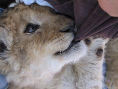 Baby Lion by RaaRaa, via Flickr