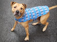 ★❥★ SAFE - 03/24/15 by Waggin Train Rescue ★❥★ Manhattan Center   MANGSTER - A1029941  *** AVERAGE HOME ***  NEUTERED MALE, TAN / WHITE, PIT BULL MIX, 1 yr, 6 mos OWNER SUR - ONHOLDHERE, HOLD FOR COURTESY Reason OWN EVICT  Intake condition UNSPECIFIE Intake Date 03/10/2015 https://www.facebook.com/photo.php?fbid=978020062210873