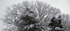 Tree Top Snow Arch, Spring Snow, 2013