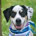SUPER URGENT STATEN ISLAND PATCHES – A1036266 SPAYED FEMALE, WHITE / BLACK, DALMATIAN MIX, 9 yrs OWNER SUR – EVALUATE, NO HOLD Reason FIRE Intake condition EXAM REQ Intake Date 05/14/2015, From NY 10307, DueOut Date 05/14/2015,