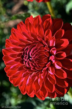 Ruby Red Dahlia (By Susan Herber)