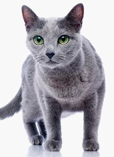 Russian Blue • Oliver.