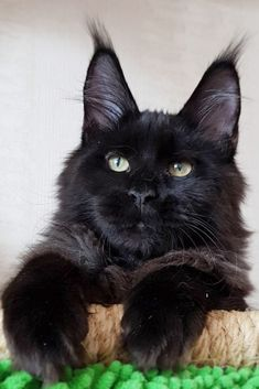 What's a Maine Coon Cats Temperament is like compared to other breeds of cats? I Love Cats, Crazy Cats, Cool Cats, Beautiful Cats, Animals Beautiful, Cute Animals, Cute Cats And Kittens, Kittens Cutest, Maine Coon Kittens