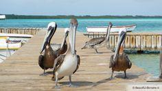Pelikane op Bonaire