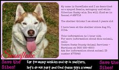 Save the Sibes!  Awww, Snowflake is a beauty.  Please help find this precious girl a forever home.