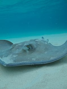 Stingray City by SF Brit on Flickr.