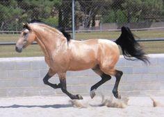 Un cheval isabelle doré