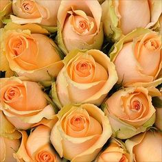 Roses - Peach - 50 Stems
