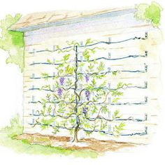 wisteria vines HOW TO; Supporting Wisteria Vines Learn how to grow it against a wall or up an arborHOW TO; Supporting Wisteria Vines Learn how to grow it against a wall or up an arbor Wisteria Trellis, Wisteria Tree, Back Gardens, Outdoor Gardens, Arco Floral, Espalier, My Secret Garden, Dream Garden, Garden Planning