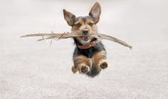 A dog soaring through the air while carrying a stick in its mouth.