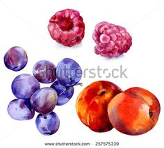 Watercolor image of plums, peaches and raspberries on a white background. - stock photo