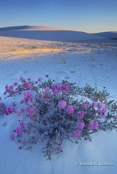 My Favorite Desert Perfume~! Sand Verbena blossoms in the dunes of White Sands National Monument, near Alamogordo, New Mexico USA