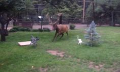 This is the charming moment a pair of small dogs yap playfully at a large elk sporting massive antlers who has wandered into their back yard somewhere in North America. Dog Store, Elk, Dog Mom, Small Dogs, Dog Days, Pet Dogs, Wander, North America, Dog Lovers