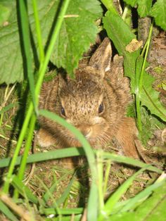 Gwyndy Eco Cottage, Mur Crusto Organic Farm, Gwynedd. Baby hare taking refuge under a blackcurrant bush
