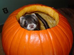 Upcoming Ferret Events, Dog, Cat and other Pet Friendly Travel Articles  http://www.pinterest.com/pin/461056080576063815/