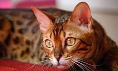 Resultado de imagen para gato bengali