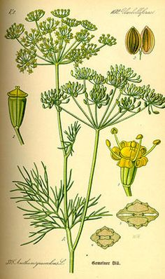 Anethum graveolens Dill (Prairie Garden Seed Jim Ternier)