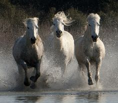 Three Camargue Horses Galloping through Water Horse Galloping, Andalusian Horse, Horse Photos, Horse Pictures, Mystical World, Horse Fly, Wild Spirit, Horse Drawings, White Horses