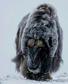 Photo by The Majestic Muskox in Nationaal park Dovrefjell -Sunndalsfjella Norway. Big Animals, Unique Animals, Animals Of The World, Nature Animals, Animals Beautiful, Mobile Photo, Musk Ox, Trophy Hunting, Animal Bones