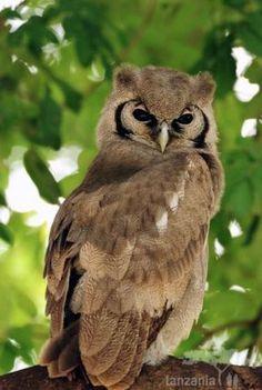 Usambara or Nduk Eagle-Owl, Bubo vosseleri: endemic to Tanzania