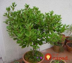 Benefits of Growing Bonsai Herbs : Sweet Bay Laurel Container Plants, Container Gardening, Bay Leaf Tree, Bay Laurel Tree, Rama Seca, Tree Images, Potted Trees, Plantar, Amazing Flowers
