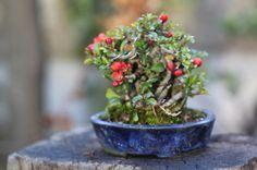 super mini bonsai / plum