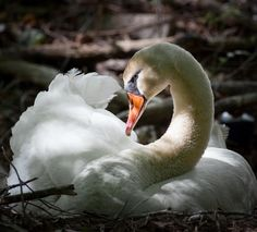 Beautiful swan they eat fish and they die by other bigger animals