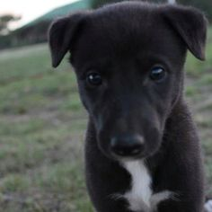 greyhound puppies are the cutest!