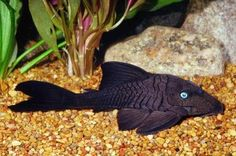 Blue Eyed Plecostomus  Scientific name:   Panaque Cochliodon  Average Adult Fish Size: 12 inches  /  30 cm  Place of Origin: Columbia, South America