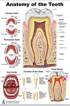 Dental Assistant Study, Dental Hygiene Student, Dental Hygienist, Dental Care, Dental Anatomy, Medical Anatomy, Dental Terminology, Dental Videos, Dental Photography